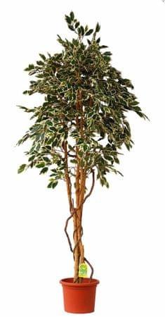 EverGreen Ficus hawaii výška 200 cm v kvetináči