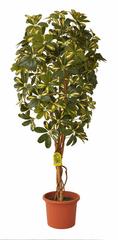 EverGreen Schefflera strom výška 140 cm v kvetináči, žltá