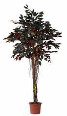 EverGreen Capensia vzdušné korene výška 170 cm v kvetináči