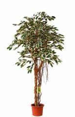 EverGreen Ficus hawaii vzdušné korene výška 170 cm v kvetináči