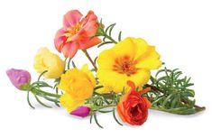 Click and Grow náplň pre smart kvetináče a farmy - Portulaka veľkokvetá, 3ks v balení
