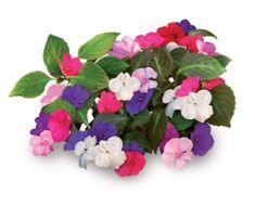 Click and Grow náplň pre smart kvetináče a farmy - Netýkavka, 3ks v balení