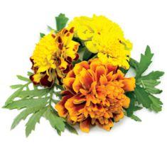 Click and Grow sadilni lonček s semeni, rumena žametnica, 3 kosi