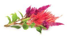 Click and Grow sadilni lonček s semeni, puhasti petelinov greben, 3 kosi