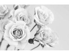 Dimex Fototapeta XL-5505-SK Ruže čiernobiele 330 x 220 cm