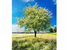 Dimex Fototapeta MS-3-0096 Kvitnúci strom 225 x 250 cm