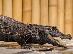 Allegria krmení krokodýlů Praha