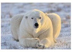Dimex Fototapeta MS-5-0220 Ľadový medveď 375 x 250 cm