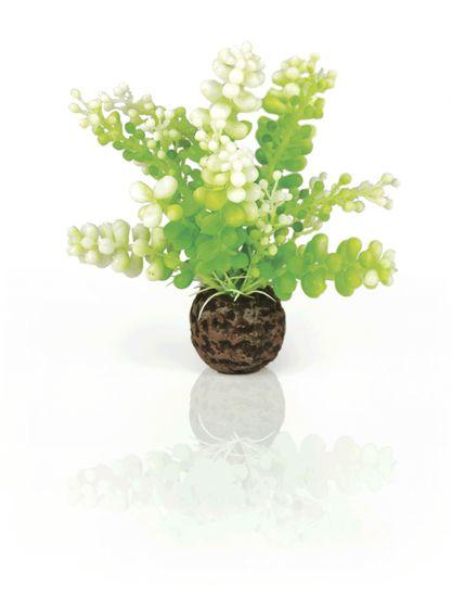 Oase Vodní rostlina Caulerpa