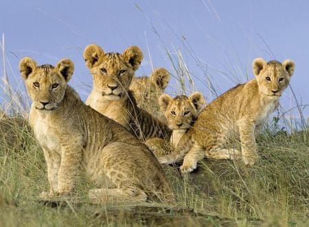 Ravensburger Puzzle 500 db Lion's babies