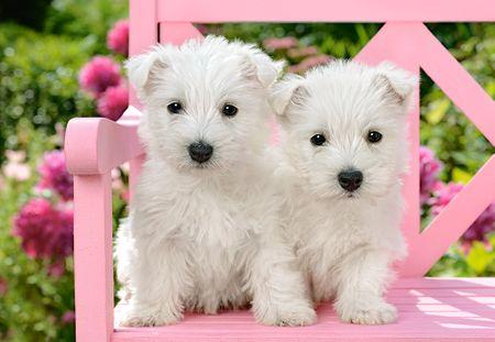 Castorland Puzzle 1500 db White Terrier Puppies