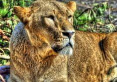 Grafika Puzzle 1000 dílků Lioness
