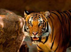 Grafika Puzzle 2000 db Tiger