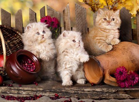 Grafika Puzzle 2000 db Persian kittens