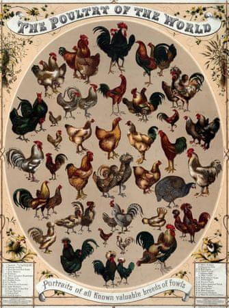 Grafika Puzzle 2000 db Affiche Les Poulets du Monde, 1868