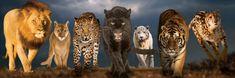 EuroGraphics Panoramatické puzzle Velké kočky 1000 dílků