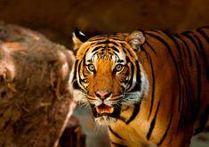 Grafika Puzzle 1000 db Tiger
