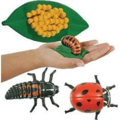 Insect Lore Životní cyklus - Beruška