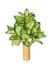 EverGreen Caladium, 5 výhonkov, 50 cm