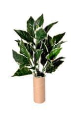 EverGreen Hosta, 5 výhonkov, 50 cm