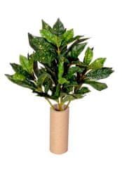 EverGreen Aucuba, 5 výhonkov, 50 cm