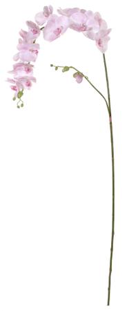 Shishi Roza orhideja 176 cm