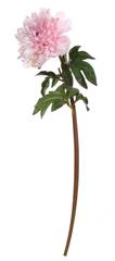 Shishi Jasnoróżowa piwonia 72 cm