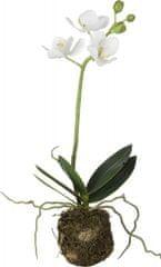 Lene Bjerre Stredná orchidea s koreňovým balom FLORA, biela