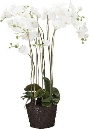 Lene Bjerre Zelo velika orhideja s koreninsko grudo FLORA, bela