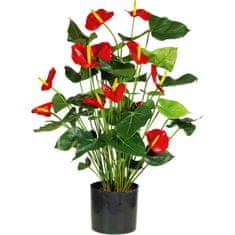 A La Maison Antúria (Antúrie) s červenými kvetmi, 80 cm