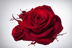 Dalenor Obraz Ruža, 120x80 cm