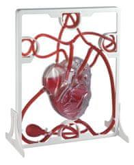 EDU-QI Srdcový tep / Pumping heart model
