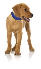 RECORD ogrlica za hlađenje, za pse i mačke