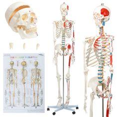 shumee Anatomický model lidské kostry výukový s plakátem 181 cm