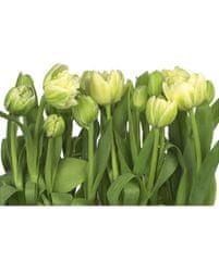 KOMAR Products papírová fototapeta 8-900 Tulips, rozměry 368 x 254 cm