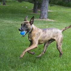 KONG SqueakAir Ultra lopta za pse, L žuta