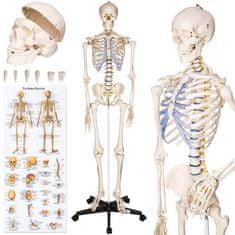 tectake Anatomický model lidská kostra 180 cm - bílá