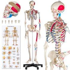 tectake Anatomický model ľudská kostra s označením a číslovaním svalov - bílá