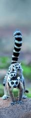 mapcards.net 3D záložka Lemur Family