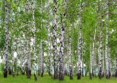 AG design Fototapeta Březový les FTNS 2448